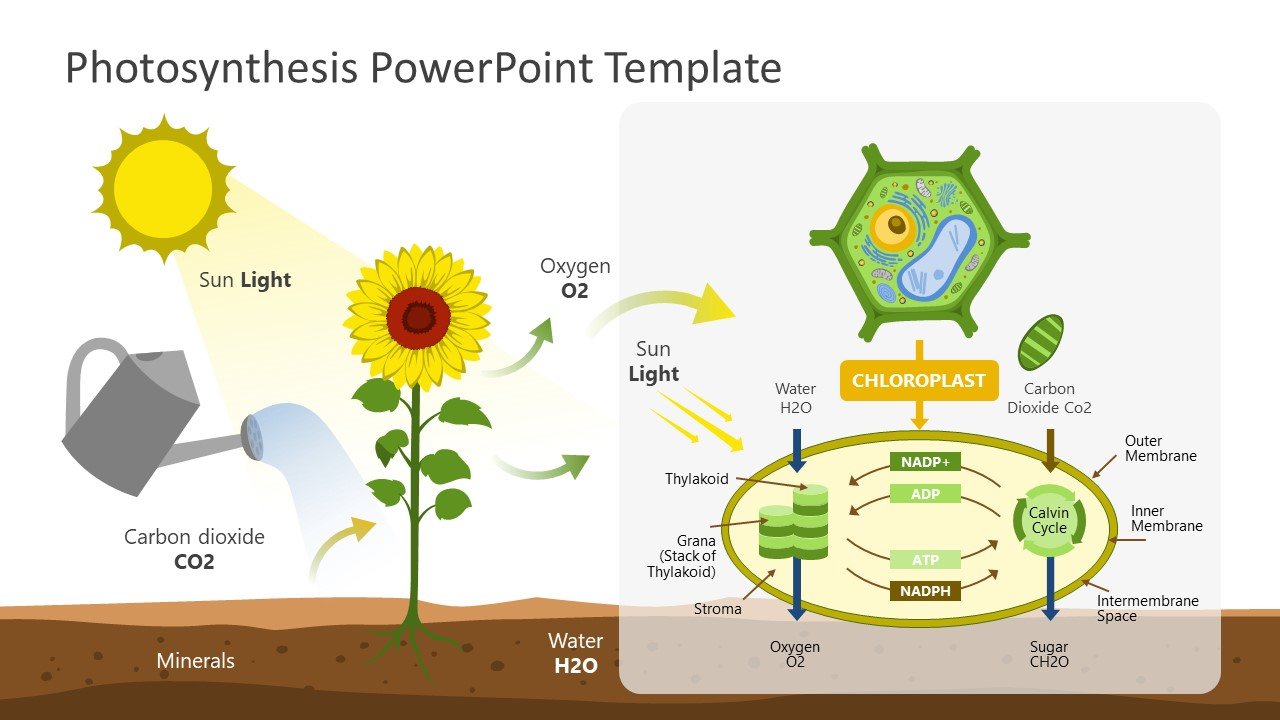 PowerPoint Photosynthesis Labelled Diagram