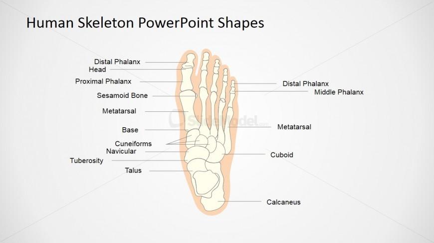 Presentation Of Skeletal System For Kids Foot Slidemodel