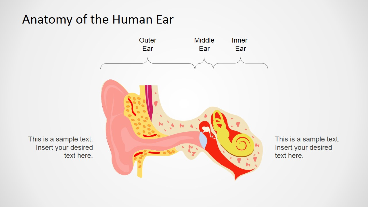 Human Anatomy Ear Powerpoint Shapes Slidemodel