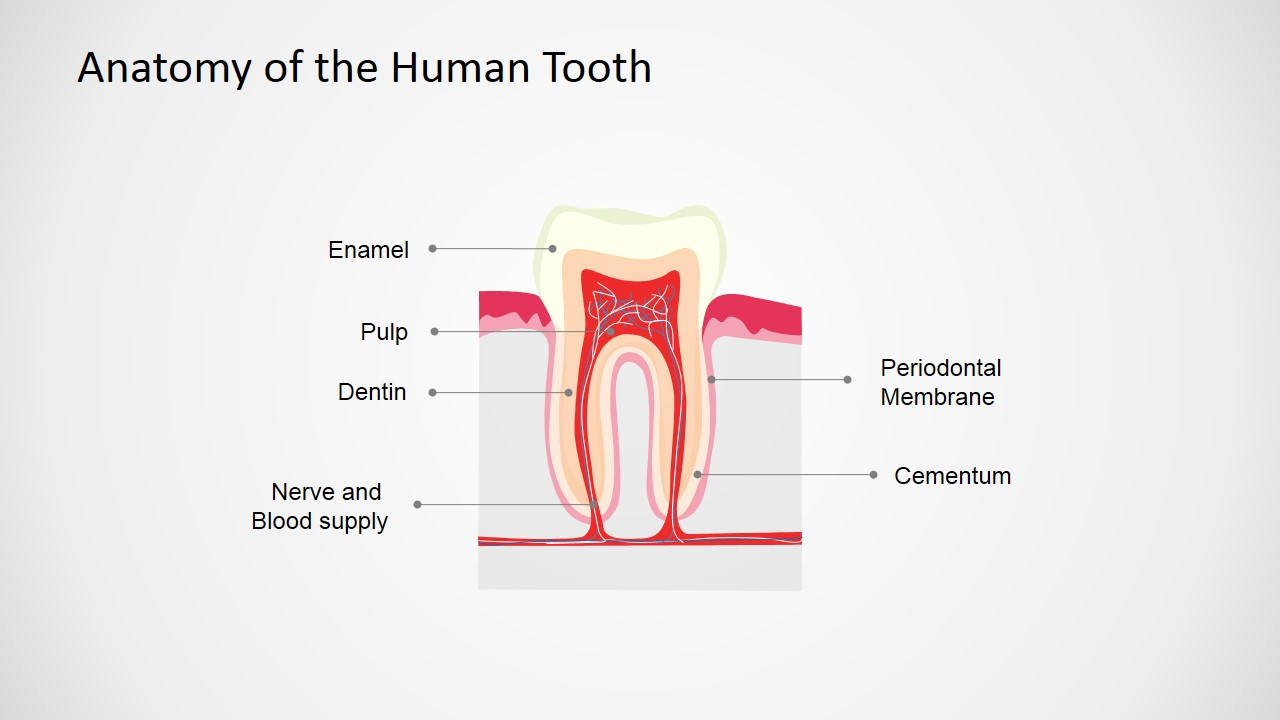 PowerPoint Shape of Human Tooth Anatomy