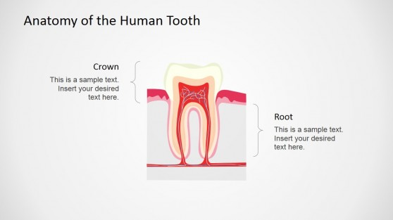 Professional Human Tooth Vertical Section Shape