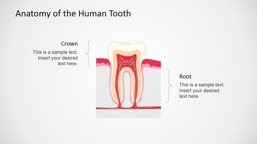 PowerPoint Tooth Shape Vertical Section