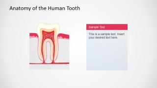 PowerPoint Slide Describing Human Tooth Anatomy