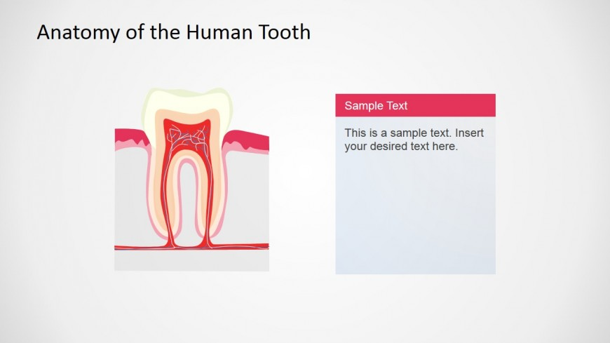 PowerPoint Slide Describing Human Tooth Anatomy