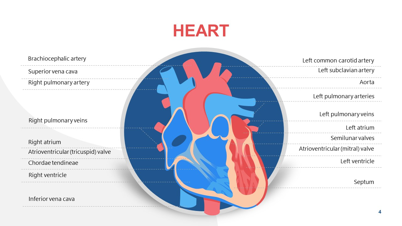 PowerPoint Diagram of Heart Function