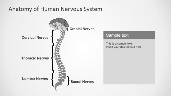 PowerPoint Shapes  Featuring Nervous System