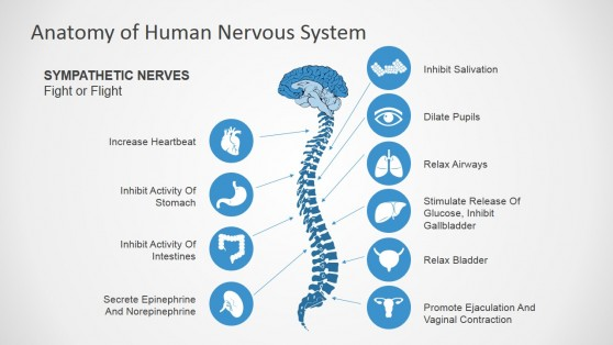 Sympathetic Nerves PowerPoint Diagram