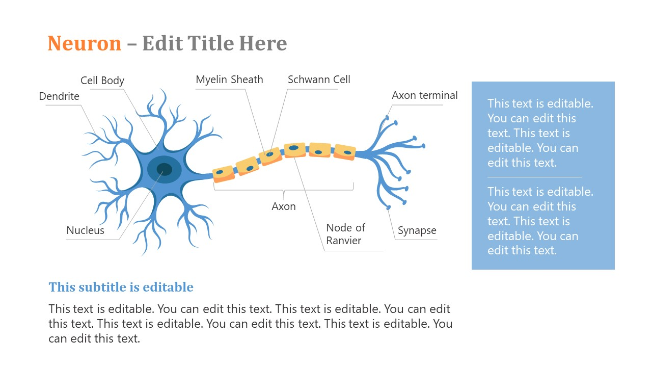 Presentation of Neuron Structure and Work