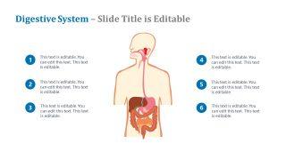 Presentation of Digestive System Diagram
